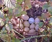 VAHVA LEID! Valgeranna pardipesa kümnes muna oli golfipall